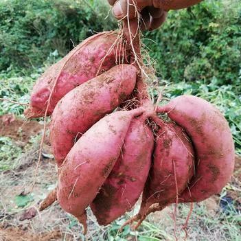 煙薯25鮮薯8兩~1.6斤(糖化好的,可直接烤)
