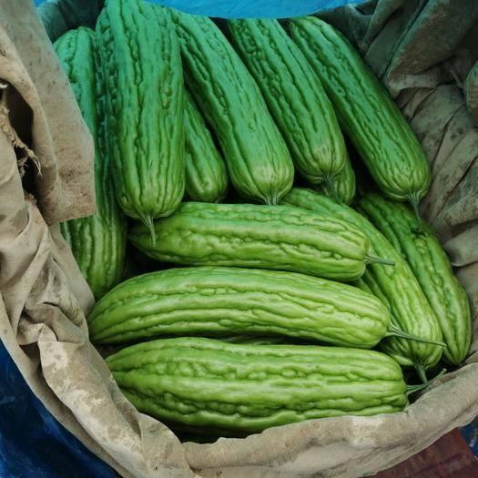 广西壮族自治区南宁市西乡塘区 新一茬的苦瓜已经大量上市, 货源稳定