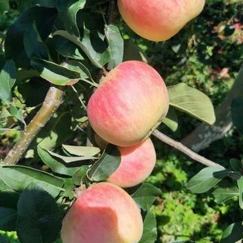 越西紅金星蘋果 脆甘