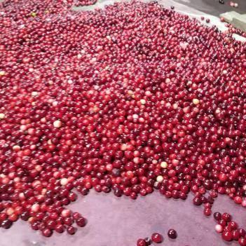 蛇莓 大兴安岭北国蓝莓科技开发有限公司 大量供应速速冻红豆新鲜红豆