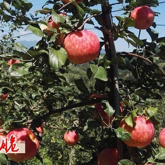 河南省洛陽市洛寧縣 密脆蘋果  基地直供