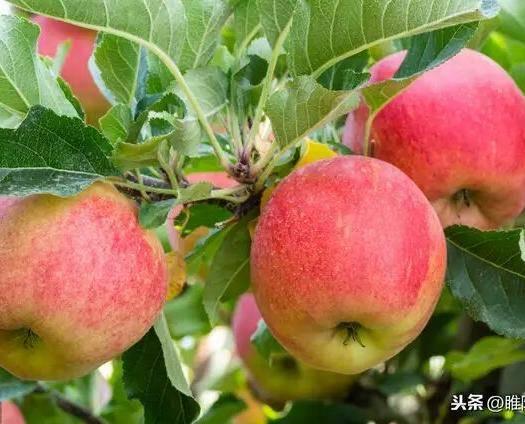 河南省商丘市睢縣 青蘋果:王林,脆甜酸和黃香蕉一樣但不綿。紅蘋果:新紅星,香甜