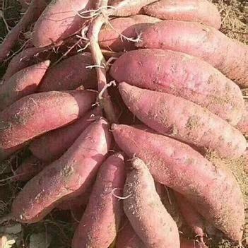 云南红薯大量上市,有需要的联系,合作共赢