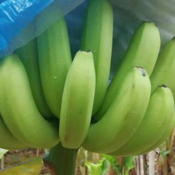 1000亩香蕉,品质好,欢迎各位老板来聊!