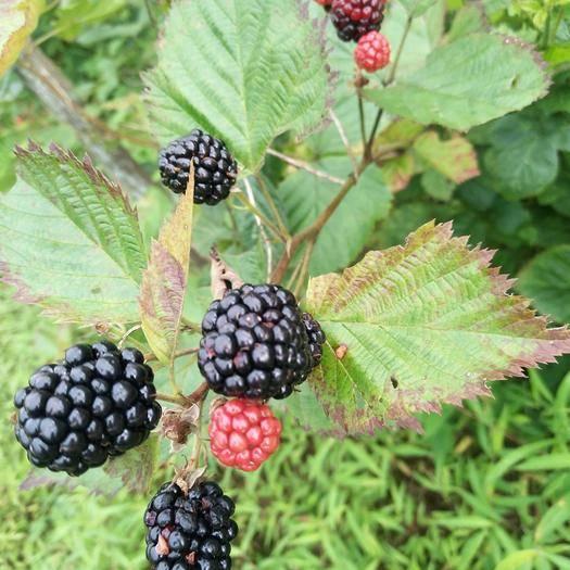 湖北省恩施土家族苗族自治州宣恩縣 樹莓熟了,可生吃,可泡酒,作用很多可上百度搜索
