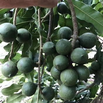 夏威夷果 還有一個月豐收了,如果有需要請告訴我。