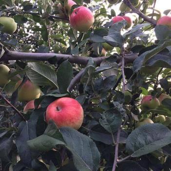華丹蘋果 精品華瑞