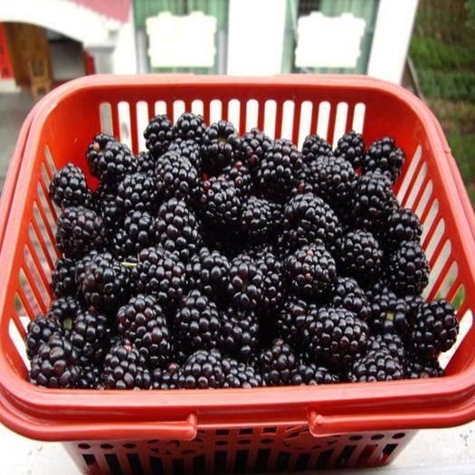 陜西省寶雞市鳳縣 水果之王黑樹莓