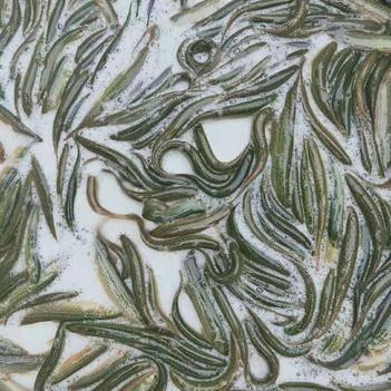 钓鱼专用野生泥鳅(200尾小鳅,10尾/斤大鳅)