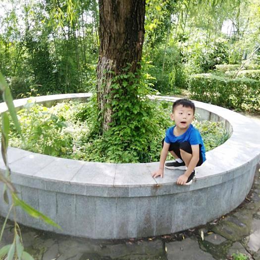 陜西省漢中市洋縣七葉樹 觀賞,清除灰塵。