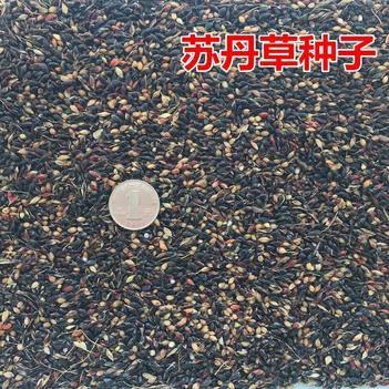 苏丹草种子鱼草种子高丹草种子新种子包邮