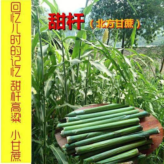 四川省南充市嘉陵區 甜高粱種子新種子包郵