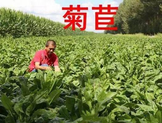 山東省濟寧市梁山縣菊苣 多年生品種,年收割6-8次 畝產鮮草3-3.5萬斤