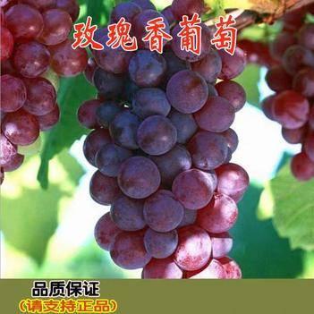 玫瑰香葡萄苗,2-4年苗,当年挂果全国发货,保证品种包成活