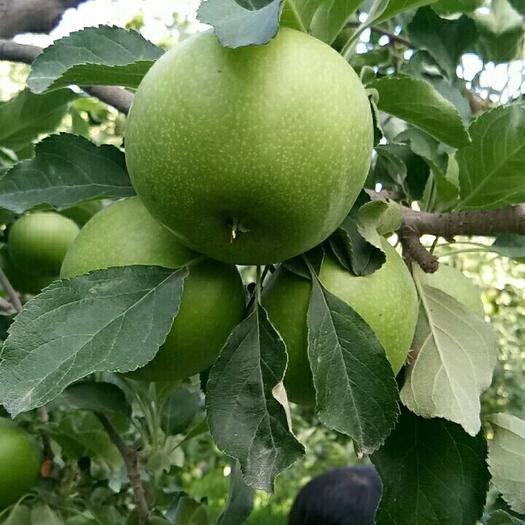 寧夏回族自治區中衛市沙坡頭區澳洲青蘋果 澳洲青蘋
