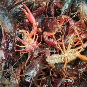 清水小龙虾低至12元/斤   包运费   24小时发货