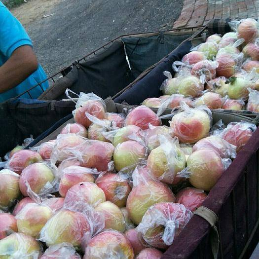 河北省衡水市深州市 美八蘋果