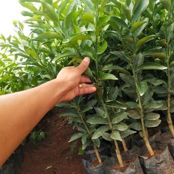 沃柑苗 0.35~0.5米