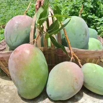 產地直發凱特芒果新鮮水果精品果
