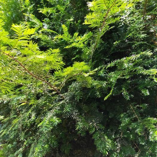 湖南省怀化市洪江市 红豆杉净化空气四季长青优质木材高档树种