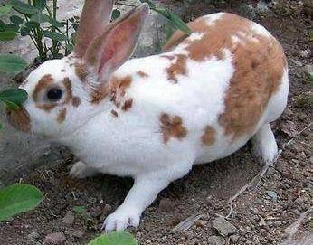 浙江省嘉興市海鹽縣 德國花巨兔種兔28.6元一個包郵送藥送兔糧,送養殖技術資料