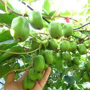 軟棗獼猴桃苗,耐儲存,高產,包郵
