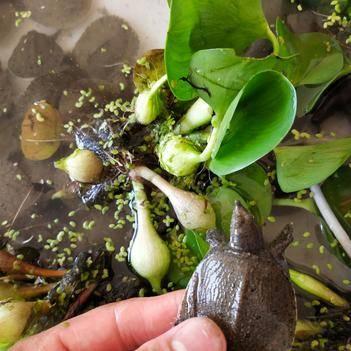 外塘甲魚 今年外塘頭苗 5-15克養殖戶首選