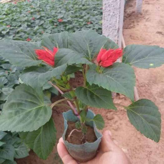 山东省潍坊市青州市 一串红,是国庆组摆,栽值的首选,花期超长