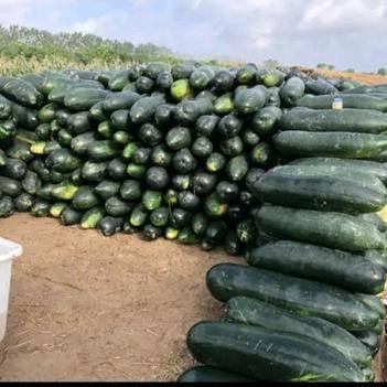 最好的产品给最好的你!黑皮冬瓜大量上市,欢迎前来采购。