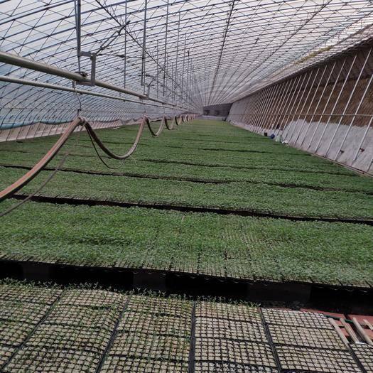 山東省濰坊市壽光市農技人員 對西紅柿 彩椒 大小黃瓜種植多年