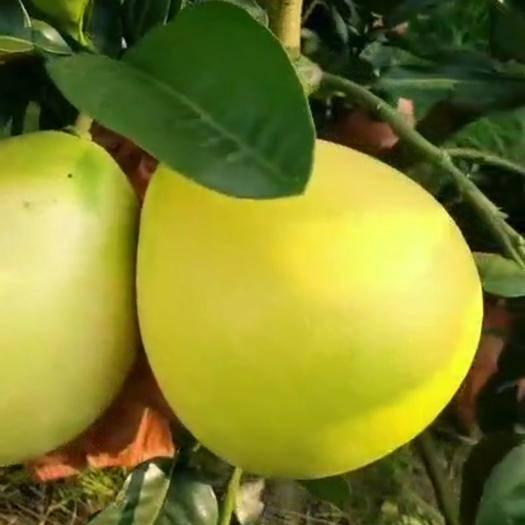 福建省漳州市平和县文旦柚 2.5斤以上