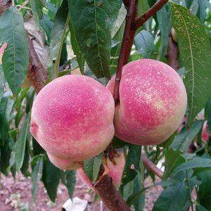水蜜桃苗,一級苗,基地直銷,現挖現發,次年掛果,配發種植指