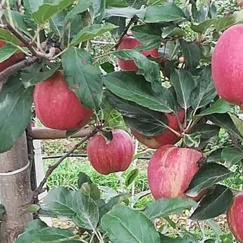 涼香蘋果 70mm以上 片紅 紙袋