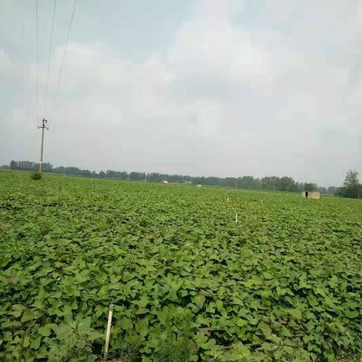 河南省周口市鄲城縣 大量供應紅薯葉,紅薯梗,紅薯尖