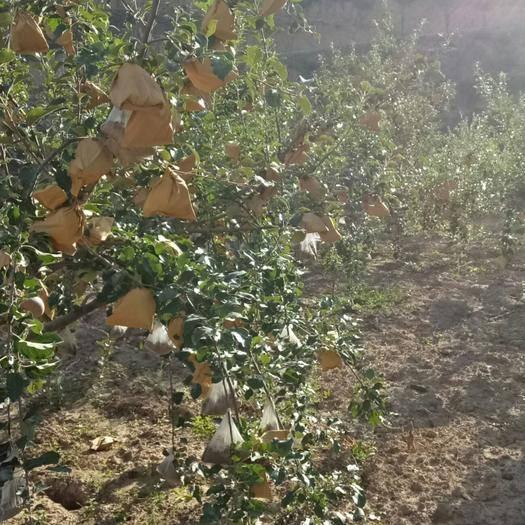 甘肅省定西市通渭縣 正在生長中的山地紅富士蘋果,套袋無農藥殘留,到九月底上市。