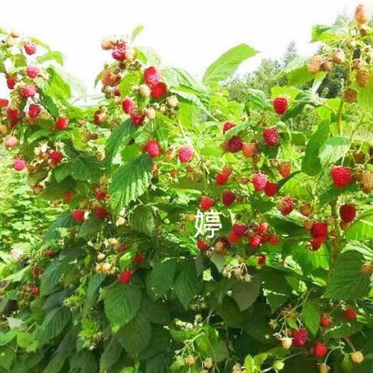吉林省白山市渾江區 樹莓 紅樹莓 雙季紅樹莓苗