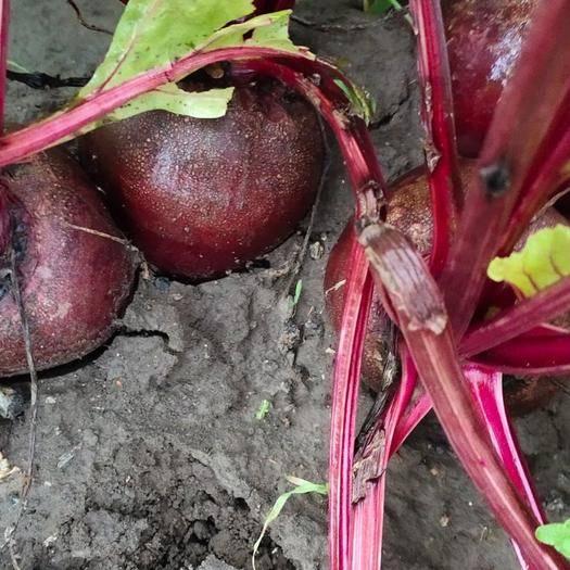 吉林省長春市農安縣甜菜根 有需要的聯系我