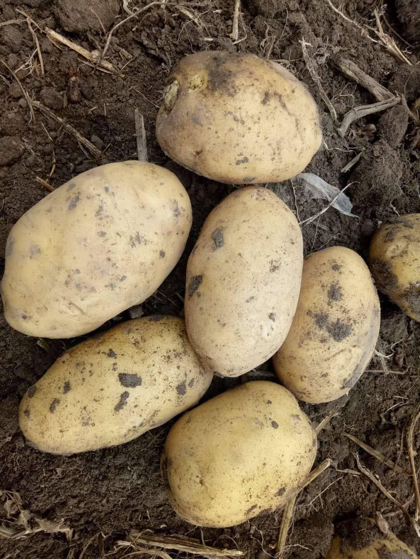 [尤金885土豆批发] 大量供应黄心土豆,尤金,土岩,杠三七,延暑价格0.55元/斤