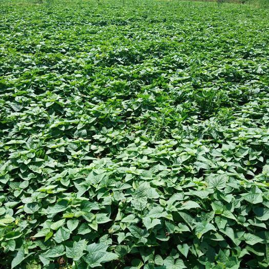 湖南省長沙市瀏陽市 綠色產品,放心食品。 苕尖