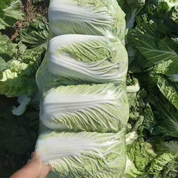 基地精品青杂三号大白菜!供应超市批发市场大量供应价格美丽