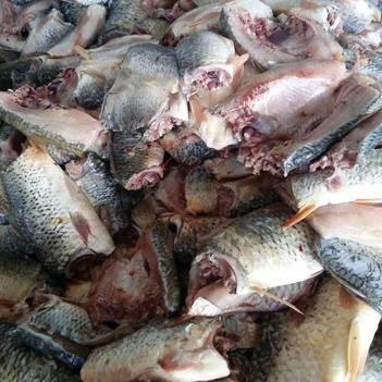 新鲜鲤鱼鄱阳湖野生量大从优