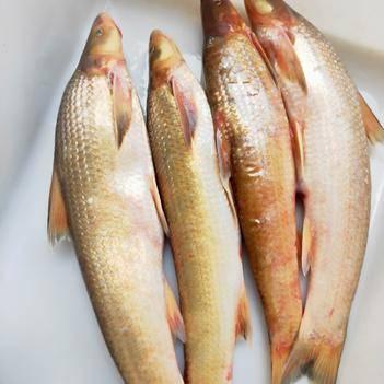 辫子鱼 野生长江铜鱼