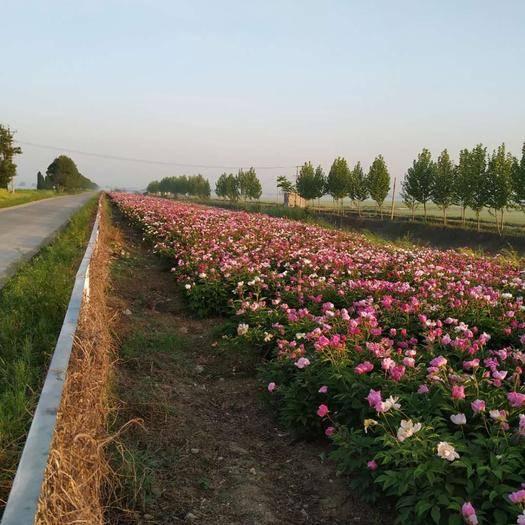 安徽省蚌埠市懷遠縣中藥材赤芍 赤芍6年苗整體或部分出售