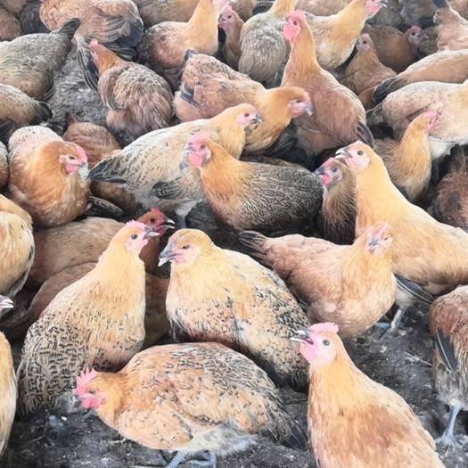广西壮族自治区河池市东兰县东兰三乌鸡 大量供应阎鸡,瑶鸡,三乌鸡