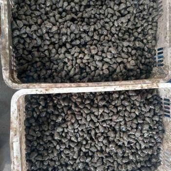 泥螺 优质石螺,13-15硬规格,每天供应600斤
