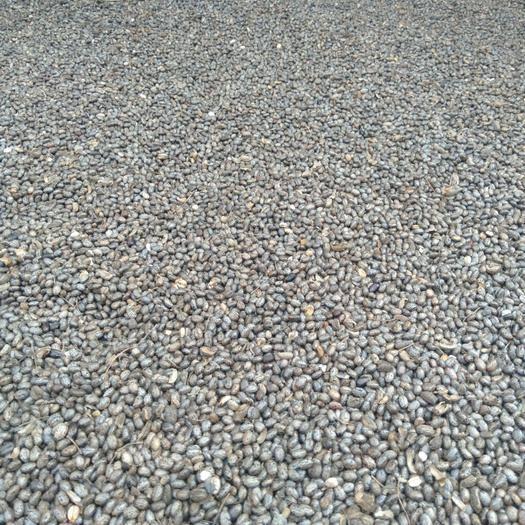 山东省济南市济阳区蓖麻种子 今年的新蓖麻子种