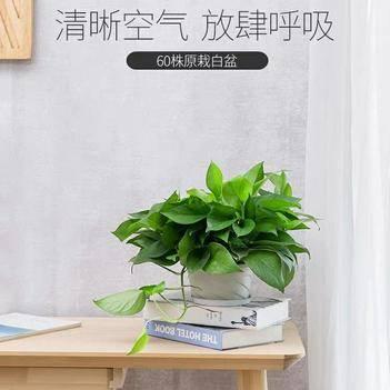 綠蘿 綠色植物盆栽室內耐活室內吸收甲醛防輻射客廳凈化空氣大葉花