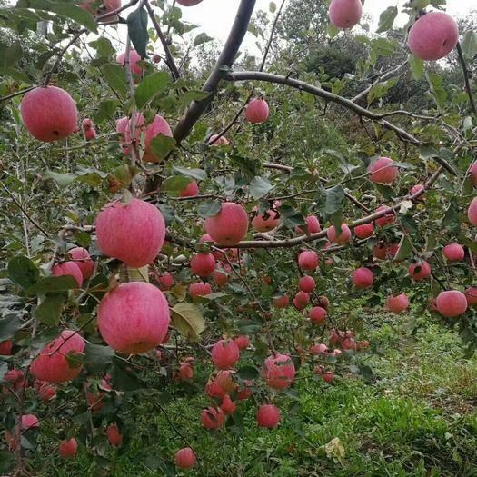 河南省三門峽市靈寶市 靈寶蘋果自家種植,純天然生長,水分大果子甜而有脆大小都有