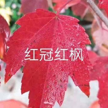 美国红枫红冠,美国红枫最好的品种(包邮)