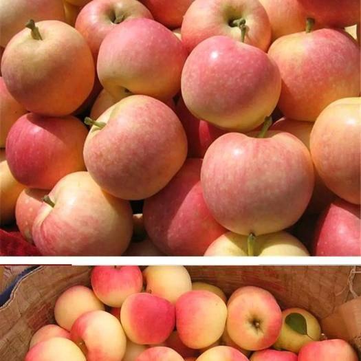 山東省聊城市莘縣 蘋果大量上市美八蘋果大量有貨